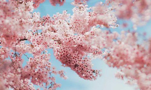 fêter la floraison des sakura au parc de sceau