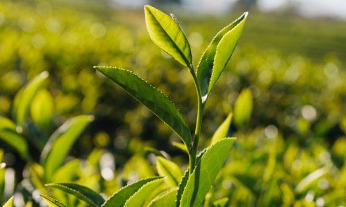 detox, les super pouvoirs du thé vert