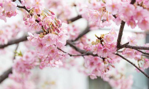 Printemps japonais - Cerisier Sakura