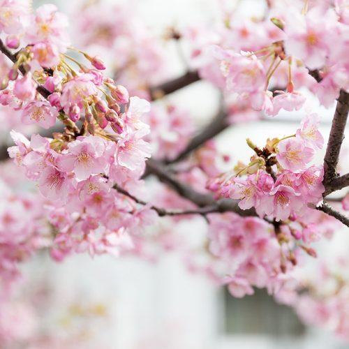 Coup d'envoi officiel de la saison de floraison des cerisiers